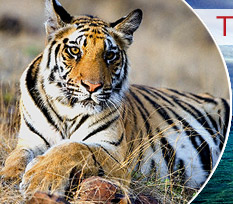 Tigers, Bandhavgarh Travel Packages